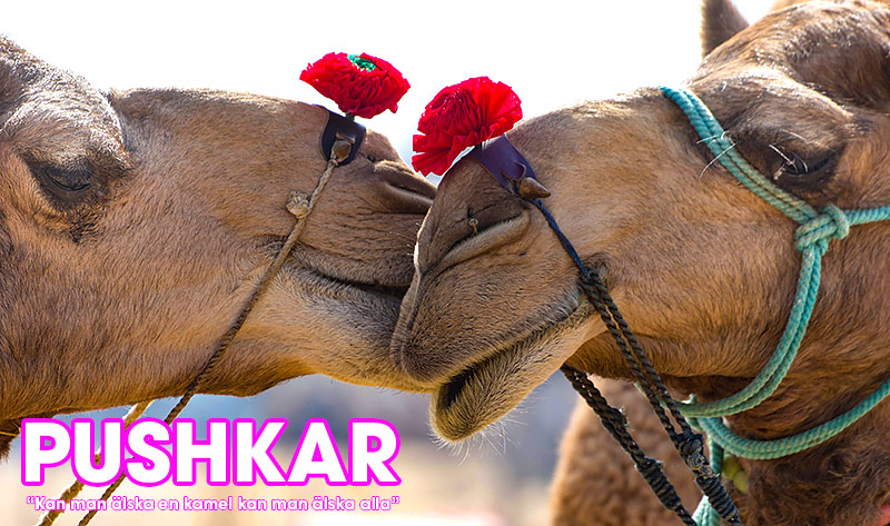 Kameler i Pushkar, Rajasthan, Indien
