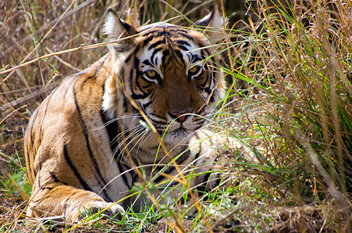 Royal Bengal Tiger i Ranthambore